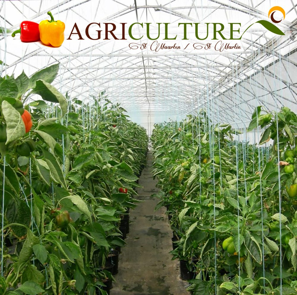 Sweet Peppers grown in St-maarten 2007 Project by Agriculturalist Joslyn Richardson.