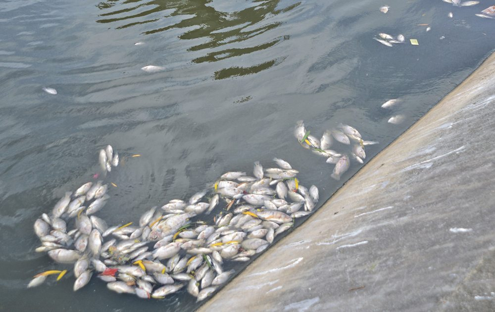 Fishes found dead on the Great Salt Pond