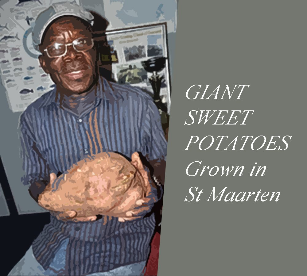 GIANT  SWEET POTATOES Grown in  St Maarten