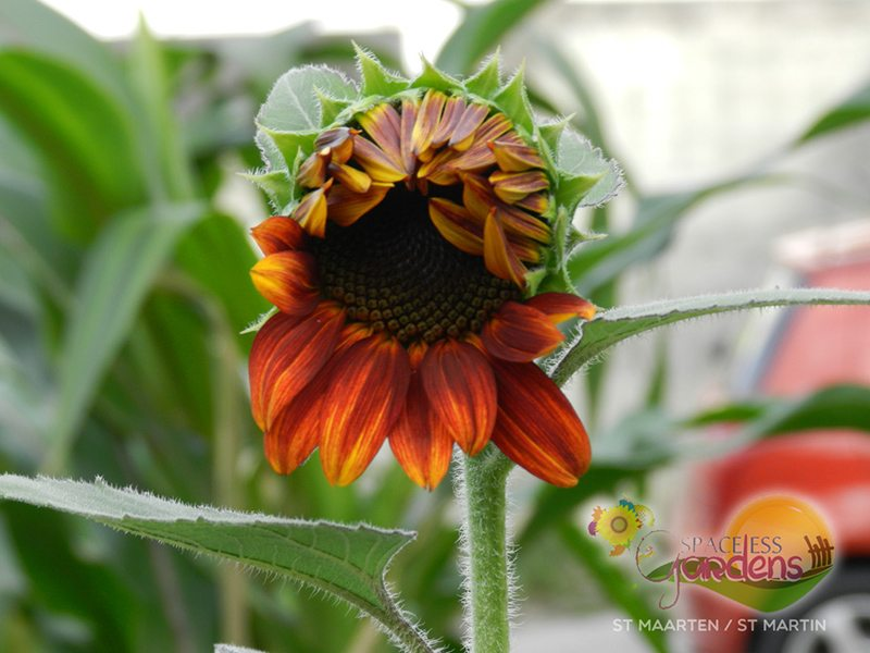 Photos of Sun Flowers grown in St Maarten