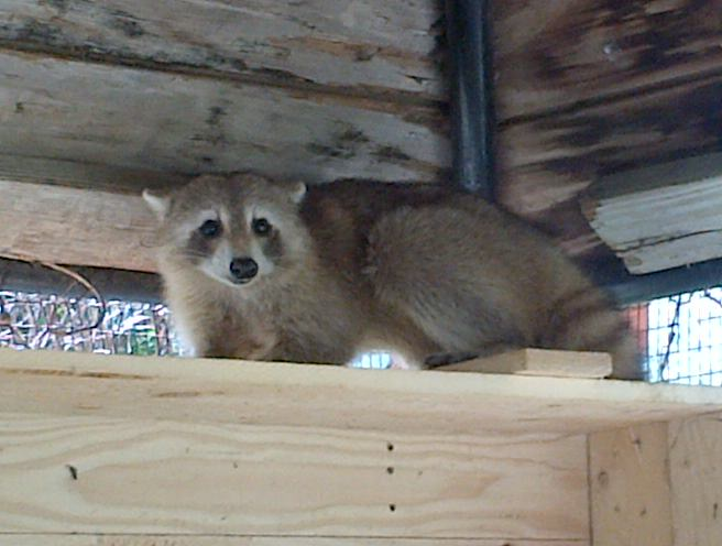 Raccoon's on St Maarten – Check out these beautiful photos of wild life on the Rock